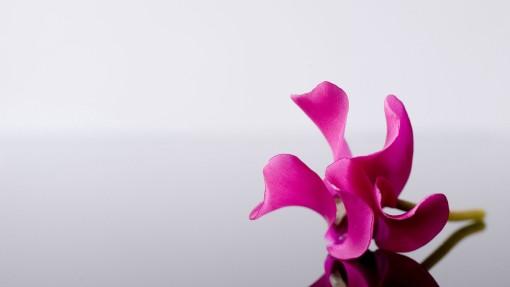 pink_flower_2-1920x1080